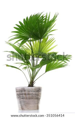 Palm tree (Livistona Rotundifolia) in flowerpot, isolated on white - stock photo