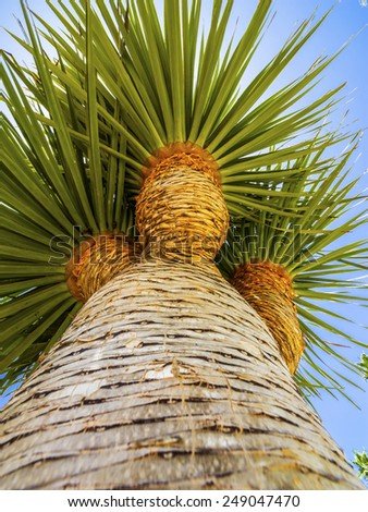 Palm tree on exotic island of volcanic origin Gran Canaria in the Atlantic Ocean, Canary Islands in Spanish archipelago, Spain, Europe - stock photo