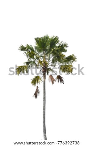 palm tree on white isolated