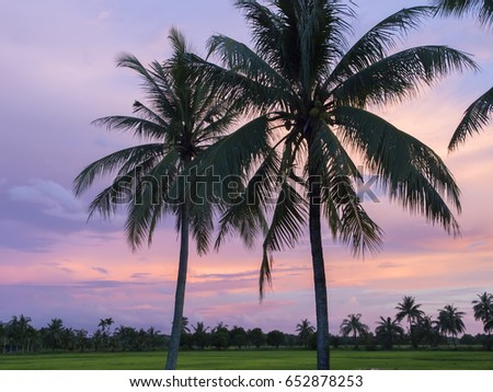 Palm tree silhouettes at dusk in rice fields in east Thailand