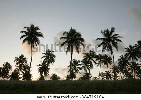 Palm tree sunset, Porto de Galinhas beach  Pernambuco, Brazil, South America.                     - stock photo