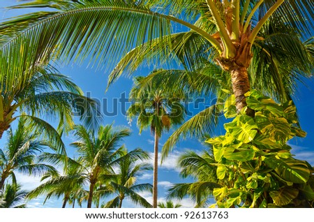 Palm tree tops with coconuts over fantastic blue sky. - stock photo