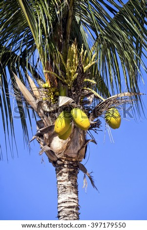 Palm tree with coconuts; coconuts growing on palm tree against tropical blue sky - stock photo