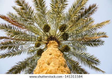 Dates Fruit Tree Stock Images, Royalty-Free Images ...
