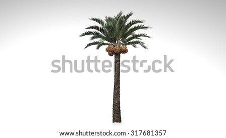 Palm tree with green leaves and coconuts isolated on white background