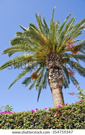 Palm tree with orange fruit by bougainvillea hedge outdoors on sunny day