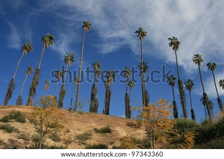 Palm trees at California Citrus State Historic Park, Riverside - stock photo