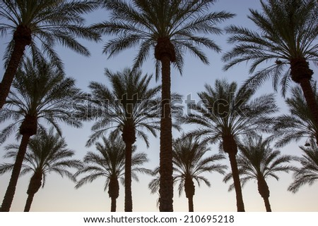 Palm Trees at sunset in the Arizona desert - stock photo