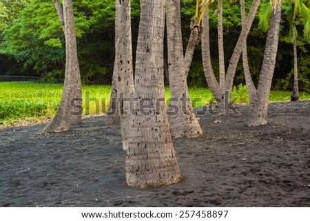Palm trees growing in black lava sand in Hawaii