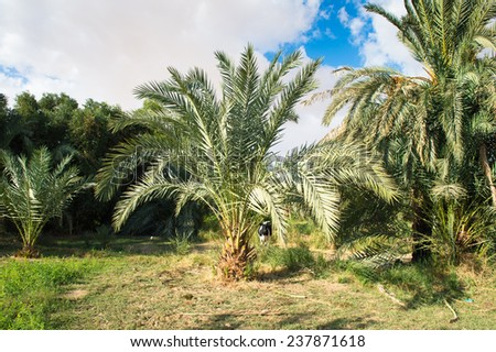 Palm trees in the Bahariya Oasis in EGypt