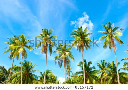 Palm trees with coconut under blue sky. - stock photo