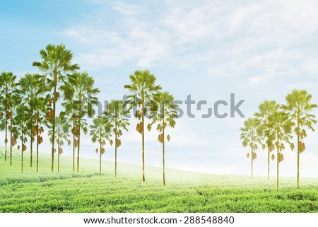 palm trees with green field and yellow soft lighting that right side - stock photo