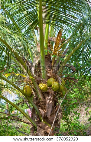 palm trees with the fruits of the King Coconut in the wild green nature of the tropical island Sri Lanka in the Indian Ocean - stock photo