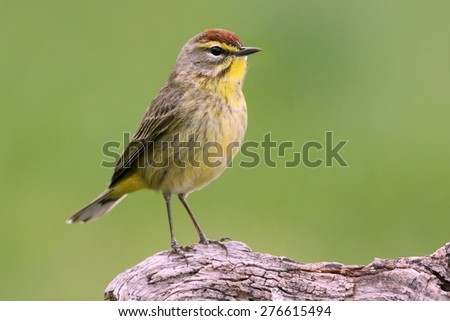 Palm Warbler (Dendroica palmarum) with a green background - stock photo