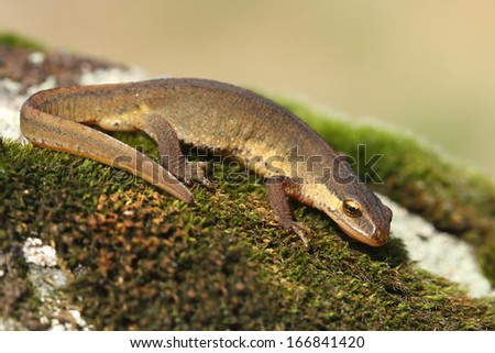 Palmate newt (Lissotriton helveticus) - stock photo