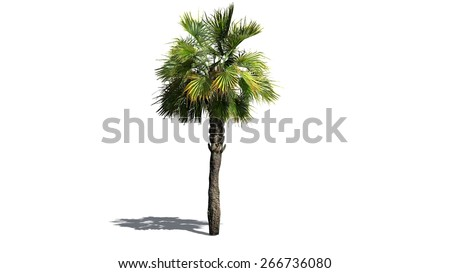 Palmetto palm tree - isolated on white background - stock photo