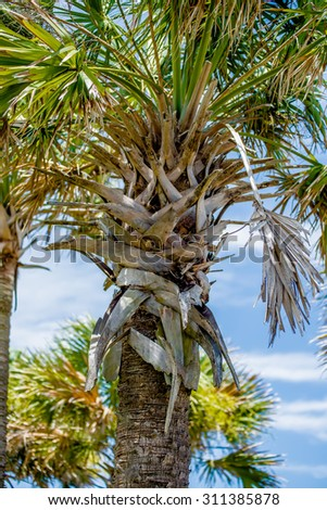 palmetto palm trees in sub tropical climate of usa - stock photo