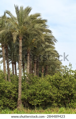 Palms tree in small village,Egypt