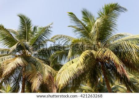 Palms tropical. - stock photo