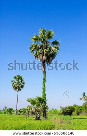 Palmyra palm tree in nature