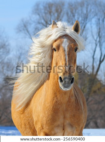 Palomino horse portrait at the field in action - stock photo