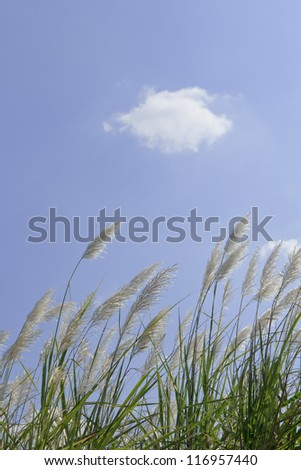 pampas grass against the blue sky - stock photo