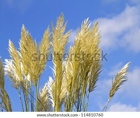 Pampas grass (Cortaderia selloana) with blue sky - stock photo