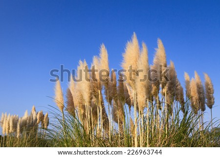 Pampas grass in blue sky