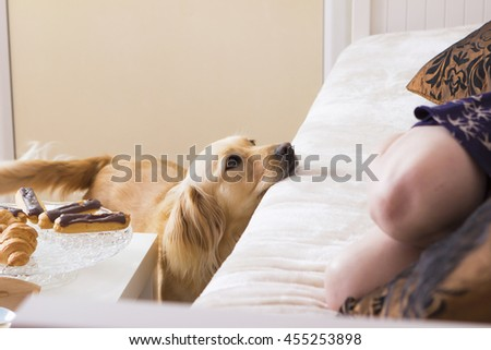 Pampered dog standing near table and asking for food - stock photo