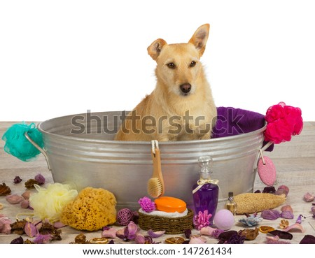 Pampering time at the dog parlour for a cute golden coloured terrier dog who is sitting waiting patiently in a metal bathtub surrounded by bathing accessories for that special bathing experience - stock photo
