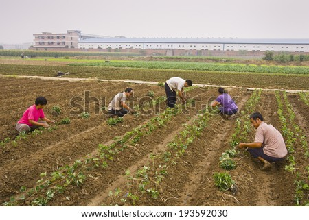 PAN YU, GUANGDONG PROVINCE, CHINA - Agricultural workers planting sprouts by hand in field, in front of factory buildings, at the Highsun Industrial Zone. 11 October 2006