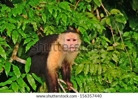 PANAMA CHANNEL AREA, PANAMA, DECEMBER 8 2006. A wild monkey in a tree in the shore of the Panama channel. - stock photo