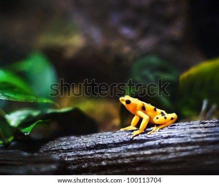 Panamanian Golden frog, (Atelopus zeteki), endangered species - stock photo
