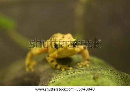 panamanian golden frog over tree - stock photo