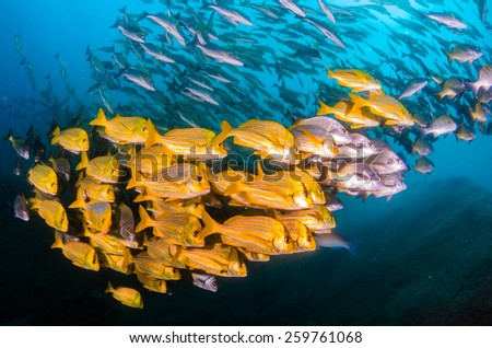 Panamic porkfish (Anisotremus taeniatus),colorful yellow fish in a school, baitball or tornado, the Sea of Cortez. Cabo Pulmo, Baja California Sur, Mexico. Cousteau named it The world's aquarium. - stock photo