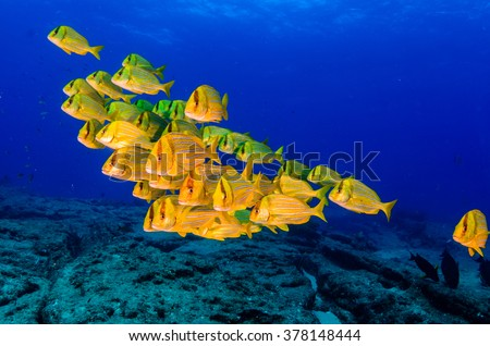 Panamic porkfish (Anisotremus taeniatus),colorful yellow fish in a school, baitball or tornado, the Sea of Cortez. Cabo Pulmo, Baja California Sur, Mexico. The world's aquarium.  - stock photo