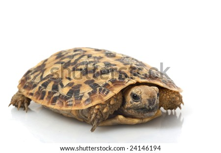 Pancake Tortoise (Malacochersus tornieri) isolated on white background.