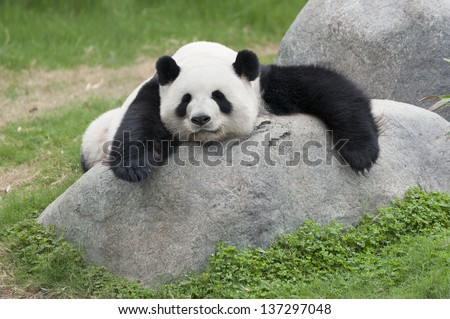 Panda bear - stock photo