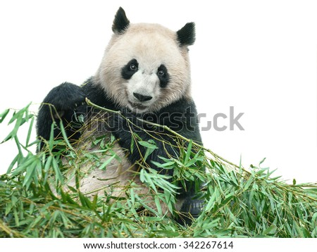 Panda bear eating bamboo leaves isolated on white with clipping path - stock photo