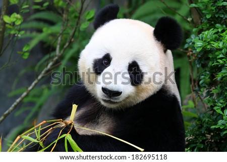 Panda Bear eating bamboo shoot - stock photo