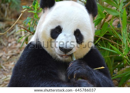 Panda bear eating bamboo stick in a bamboo forest.