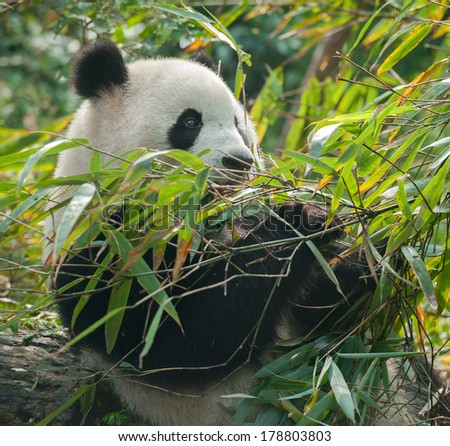 Panda bear eating in bamboo forest
