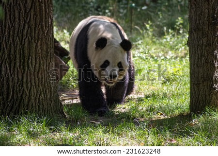 panda bear in a forest - stock photo