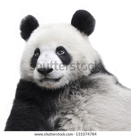 Panda bear isolated on white background - stock photo