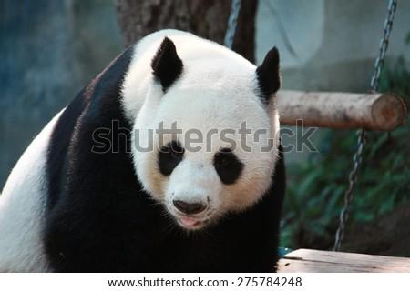 Panda Bear looking - stock photo