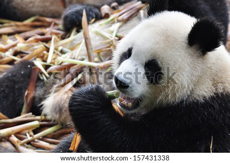 Panda eating chinese bamboo