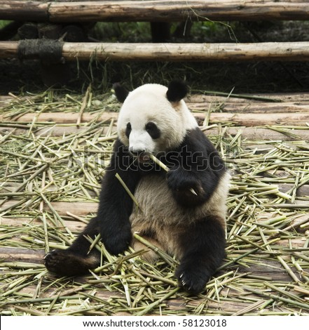 Panda eating in a relaxed sitting posture - stock photo