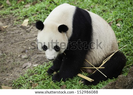 Panda in thailand - stock photo