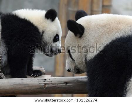 Panda mother and panda cub closeup - stock photo