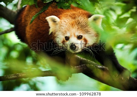 panda red - stock photo